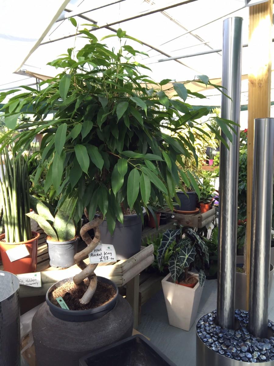 Ficus Longafolia