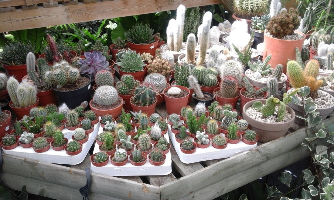 Cacti Available In The Leaf It At Home House Plant Centre